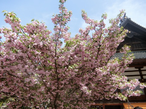 金沢 尾山神社 菊桜、玉泉院庭園 お抹茶