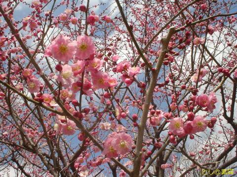 (何年か前の)水戸偕楽園の梅