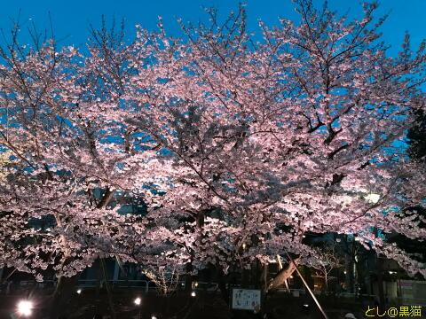 しながわ中央公園 夜桜 お花見