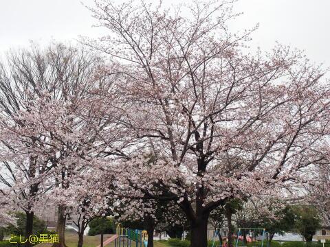 桜 まばらに満開