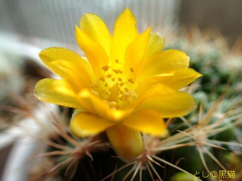 ついに咲いた サボテンの花