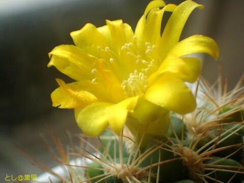 初めて咲いたサボテンの花