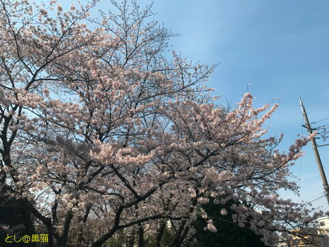病院の前の桜