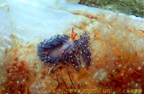 西伊豆 大瀬崎 外海でウミウシ探し その2